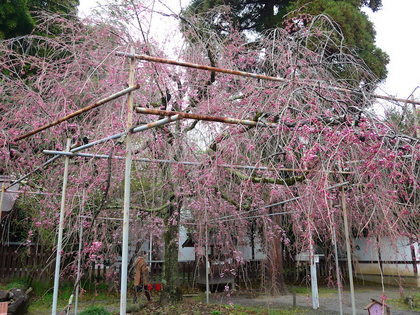 平野神社10.jpg