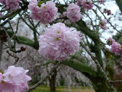 醍醐-霊宝院桜.jpg