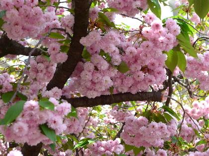 三都22-数珠掛桜.jpg