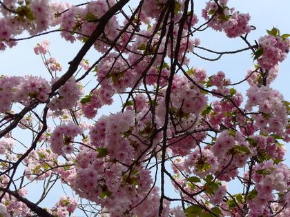 三都31-簪桜.jpg