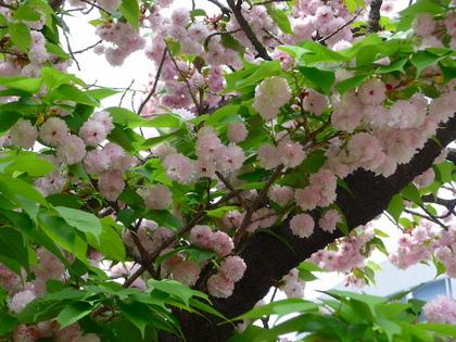 三都41-兼六園菊桜.jpg