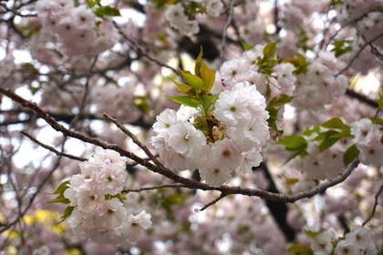 上野の花4.jpg