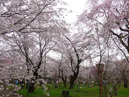 平野神社3.jpg