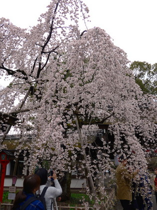 平野神社4.jpg