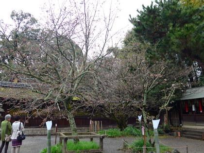 平野神社9.jpg