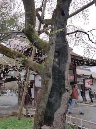 魁桜.jpg